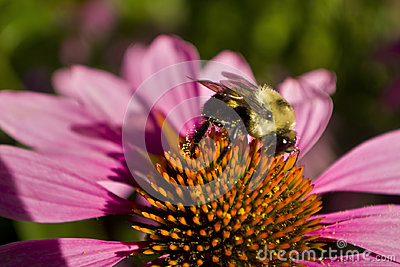 Bee profile on Echinacea flow close cup