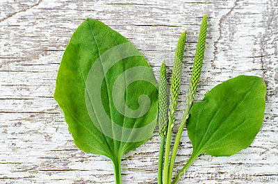 Fresh greater plantain psyllium leaves and spikes flowers on the white shabby wooden background. Herbarium, herbal medicine and