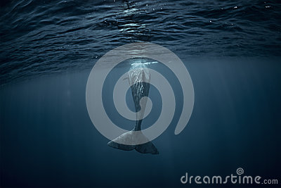 A whale in deep blue ocean underwater