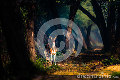 Spotted Deer in mystical lights at Bharatpur