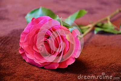 A pink rose lies on a brown carpet