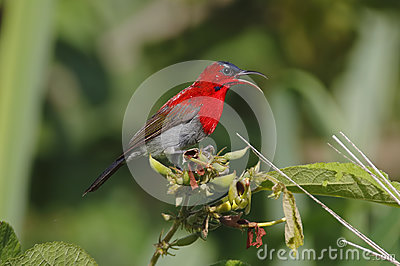 Crimson Sunbird Aethopyga siparaja Male Cute Birds of Thailand