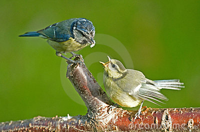 Feeding a fledgling Blue tit.