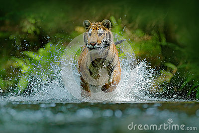 Tiger running in water. Danger animal, tajga in Russia. Animal in the forest stream. Grey Stone, river droplet. Tiger with splash
