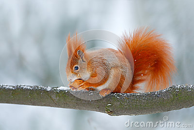 Cute orange red squirrel eats a nut in winter scene with snow, Czech republic. Wildlife scene from snowy nature. Animal behaviour.