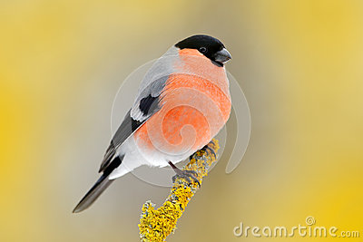 Red songbird Bullfinch sitting on yellow lichen branch, Sumava, Czech republic. Wildlife scene from nature. Bullfinch in forest, y