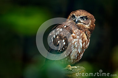 Brown wood owl, Strix leptogrammica, rare bird from Asia. Malaysia beautiful owl in the nature forest habitat. Bird from Malaysia.