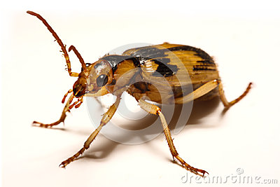 Bombardier beetles on a smooth background.