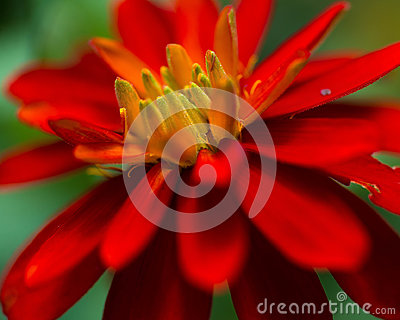 Red flower with yellow