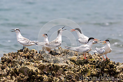 Roseate Tern Adult and Juvenile perching on stone