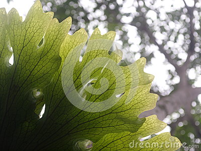 Large size beautiful parasite fern leaves growth on an old tree