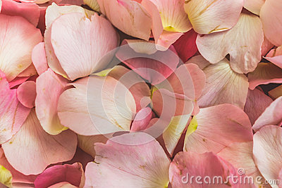 Pink Petals of wild rose flowers, dog-rose, briar, brier, canker-rose, eglantine, rose flowers background or pattern