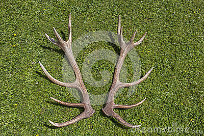 Antlers of a Red Deer Stag