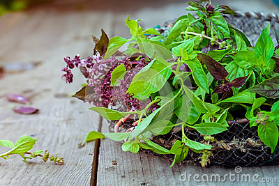 Fresh organic Bunch of green and purple basil on the vintage wooden background. Selective focus. Space for text