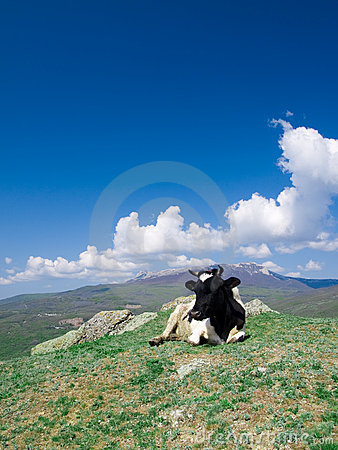 Alpin cow