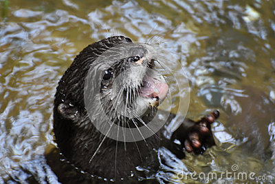 North American River Otter Showing Off His Teeth