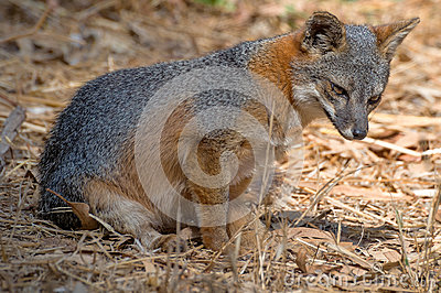 Island fox, Channel Islands National Park