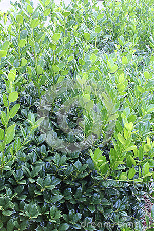 Vertical background of bushes showing old and new, untrimmed growth