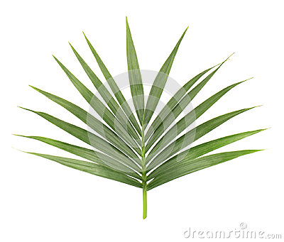 Palm leaf isolated on white background. Closeup of a branch of the coconut tree. Green tropical leaf