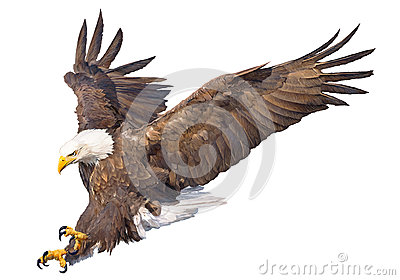Bald eagle swoop attack hand draw and paint on white background animal wildlife vector.