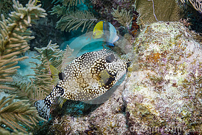 Smooth Trunkfish and Yellowhead Wrasse