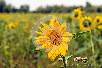 Sunflower blooming in a field edge from close
