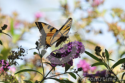 Western Tiger Swallowtail Papilio rutulus Butterfly on Butterfly Bush