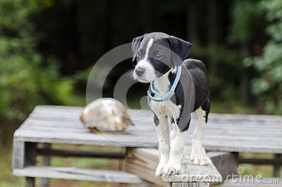 Pointer Hound mixed breed puppy dog with flea collar