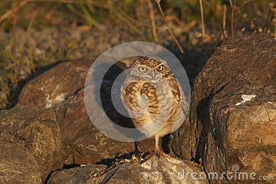 Burrowing Owl Catching the Light as the Sun Set