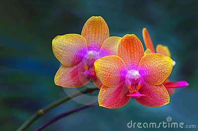 Pair of Orchids