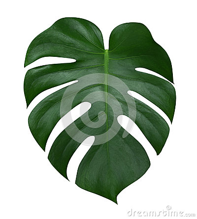 Monstera plant leaf, the tropical evergreen vine isolated on white background, path