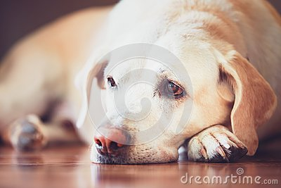 stock image of sad look of the old dog