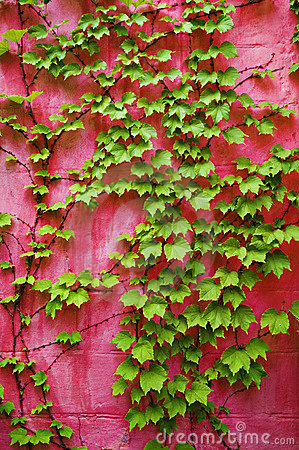 Green ivy on pink wall