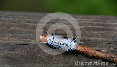 White Hickory Tussock Moth Caterpillar in NewYorkState
