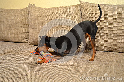 German miniature pinscher pet dog on a sofa with its toy