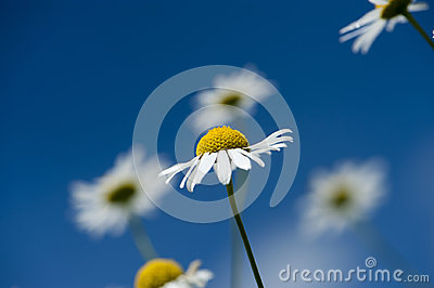 Chamomile flowers over the bright, blue sky