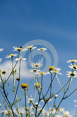 Chamomile flowers over the bright blue sky