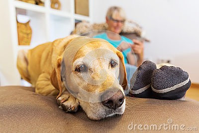 Labrador retriever lies on a seating furniture with a phoning woman in background