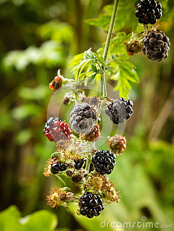 Botrytis fruit rot or gray mold on blackberries