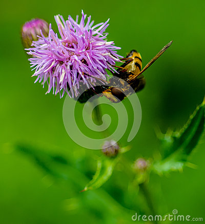 Hover Fly on a Creeping Thistle