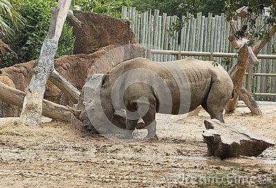 Southern White Rhinoceros in zoo