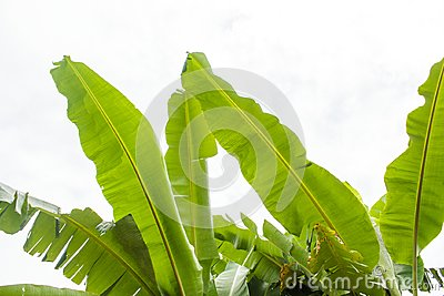 Top of banana tree leaves on sky background.