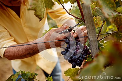 Close-up man picking red wine grapes on vine