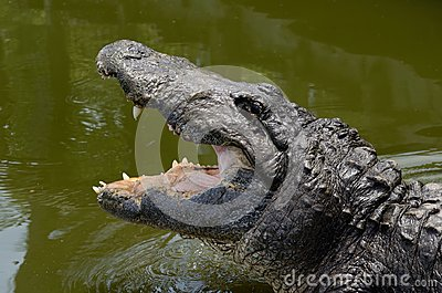 Hungry Alligator