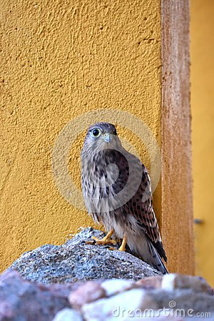 Kestrel standing on the rock