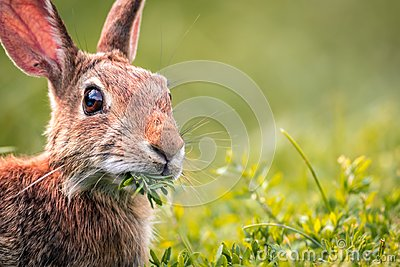 Young Eastern Cottontail Rabbit munches on fresh greens