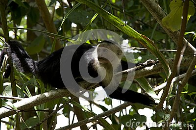Cahuita National Park, Capuchin Monkey