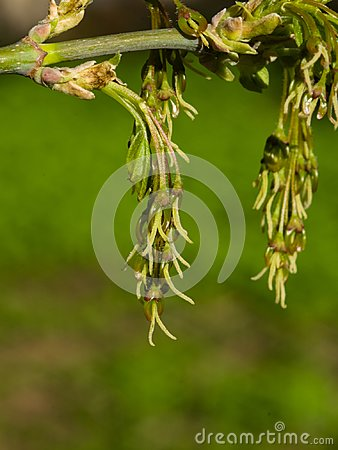 Female flowers on branch ash-leaved maple, Acer negundo, macro with bokeh background, selective focus, shallow DOF