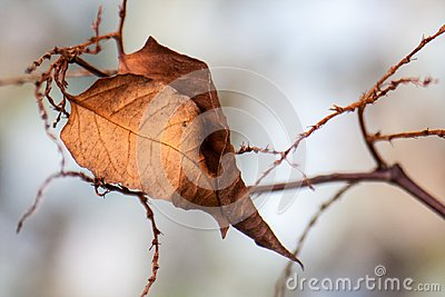 Solitary dead leaf