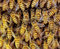 View of the working bees on honeycells.